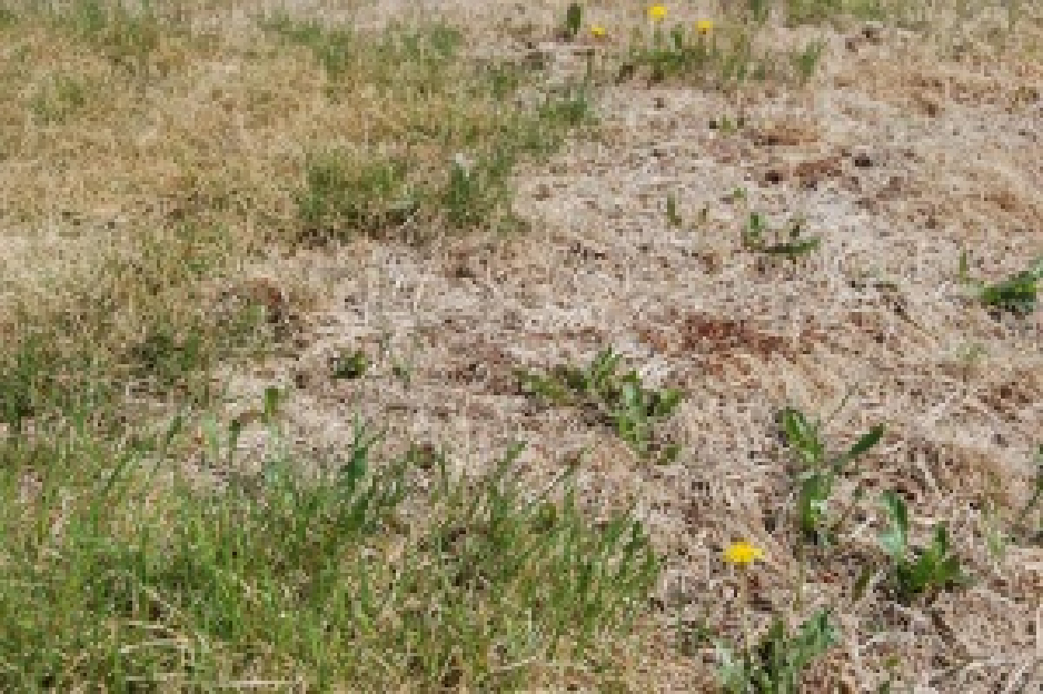 Brown Patches In Turf Spider Mites Jvj Lawncare